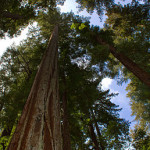 258px-Sequoia_sempervirens_Big_Basin_Redwoods_State_Park_1