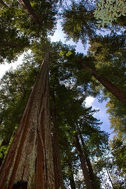 258px-Sequoia_sempervirens_Big_Basin_Redwoods_State_Park_1